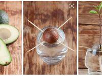 Avocado selber ziehen