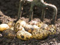 Essbare Pflanzen – Kartoffeln
