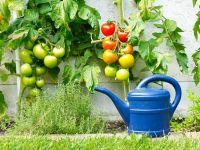Rote und grüne Tomaten am Strauch