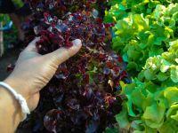 Salat ernten - Lollo Rosso