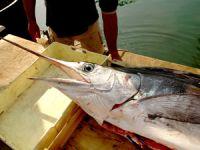Warenkunde Schwertfisch