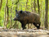 Wildschwein läuft im Wald