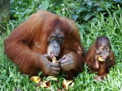 Von Affen können wir viel über Ernährung lernen © SwitchPhotography