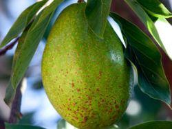 Avocados – so lecker und gesund