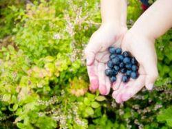 Tipps: Beeren sammeln mit Kindern