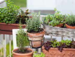 Gemüse und Kräuter, erntefrisch vom eigenen Balkon!