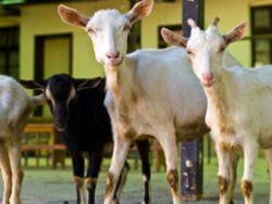Garantiert Bio-Tierhaltung ein besseres Leben für die Tiere?