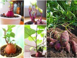 suesskartoffel-anbau