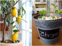 zitronenbaum pflanzen