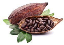 Kakaobohnen Flavanole
