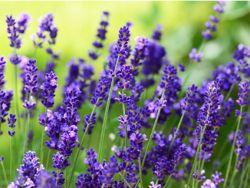 Hübsch blühender Lavendel