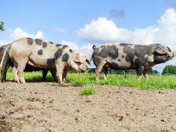 Schweine auf der Wiese