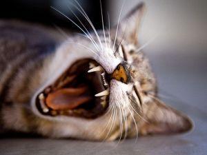 Tipps gegen Frühjahrsmüdigkeit: Katze gähnt