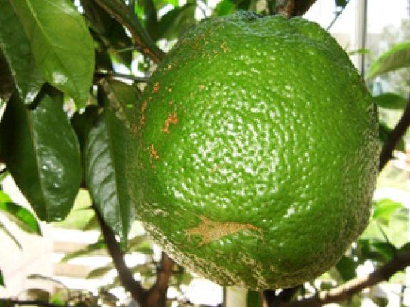 Die Bergamotte ist eine Zitrusfrucht