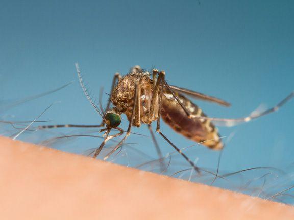 Mücke sitzt auf der Haut und sticht zu
