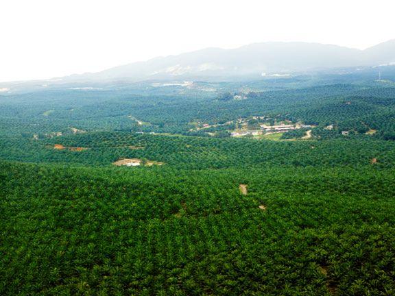 Für Palmöl-Plantagen wird Urwald gerodet