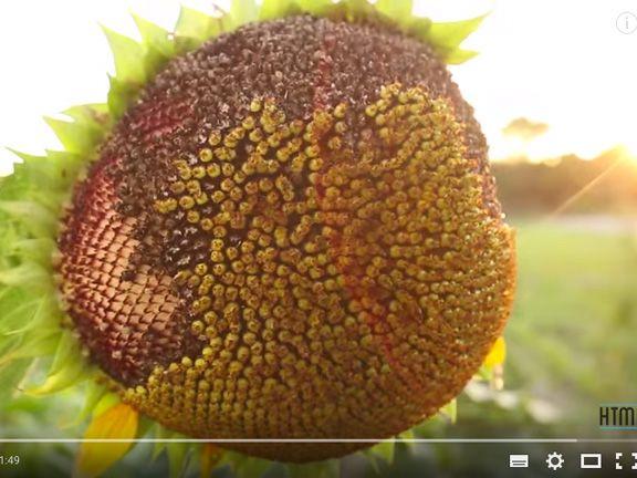 Youtube-Still von How to make Everything - Öl aus Sonnenblumen pressen