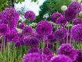 Allium: kugelige Zierlauch-Blüten