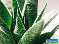 Aloe Vera: Anwendung von innen und außen