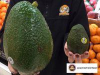 Avozillas: Die Riesen-Avocados kommen