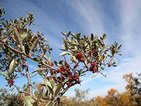 Büffelbeere – krebsschützende Superfrucht aus Nordamerika?