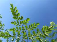 Moringa – mein Superfood