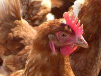Fast jedes Huhn wird gedopt