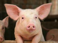 Wie artgerecht wohnen Bio-Rind und Bio-Schwein?