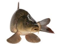 Jetzt haben Süßwasserfische Saison