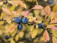 Schlehen verarbeiten: Ran an die Früchte!