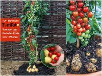 Tomoffel pflanzen im Garten und auf dem Balkon