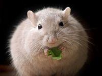 Mäuseexperiment: Ist Übergewicht vererbbar?