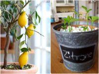 Zitronenbaum pflanzen – einfach selber ziehen