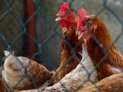 Hühner hinter einem Gitter