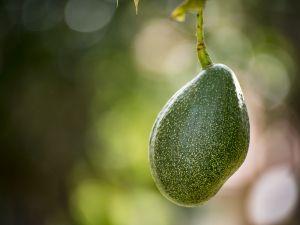 Avocado: Wasserverbrauch und Umweltbilanz