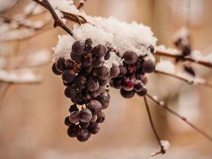 Dank des Frosts: Eiswein-Ernte startet
