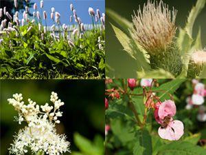 Essbare Wildpflanzen – von Bachbunge bis Mädesüß