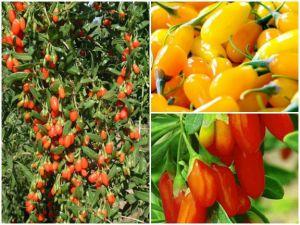 Goji-Beeren pflanzen