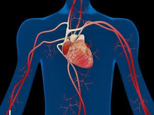 Das Herz – das Organ, das uns am Leben hält