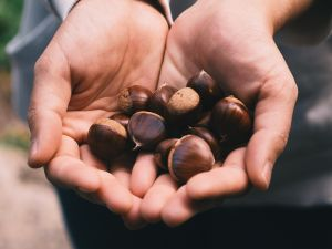 4 Gründe: Darum sind Maronen gesund