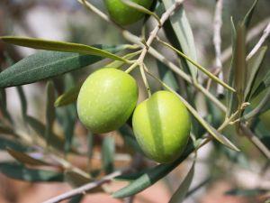 6 Gründe: Darum sind Oliven gesund