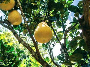 5 Gründe: Darum ist Pomelo gesund