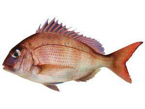 Schnapper (Red Snapper)
