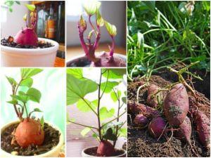 Süßkartoffel-Anbau im eigenen Garten