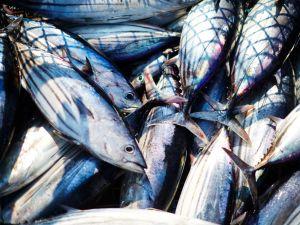 Dürfen wir noch Thunfisch essen?