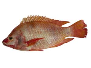 Schnapper (Red Snapper)