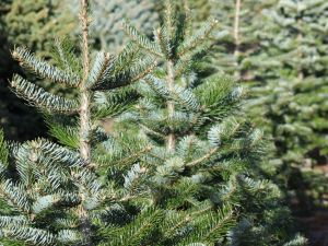 Weihnachtsbäume mieten: Eine nachhaltige Entscheidung?