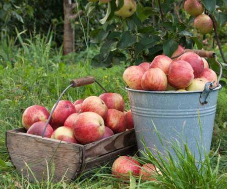 Stiege und Eimer mit Äpfeln in einem Apfelgarten
