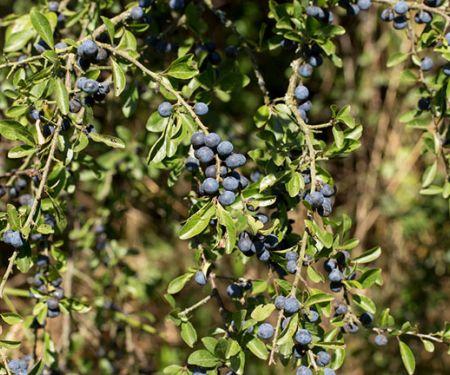 Essbare Wildobsthecken sind köstliche Gartenbewohner