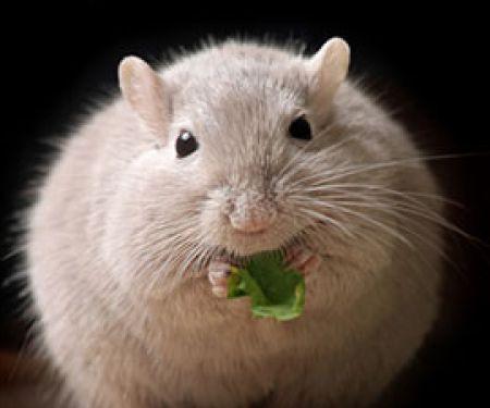 Bei Mäusen scheint Übergewicht geschlechtsspezifisch vererbbar zu sein. © Mirko Raatz - Fotolia.com